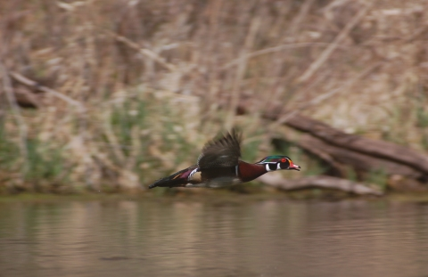 Benton County Wood Duck