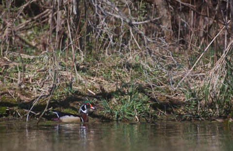 Benton County Wood Ducks